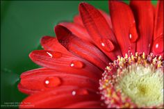 pictures of red flowers | Red Flower floating in a green bowl