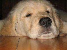 Golden Retriever, great family dog