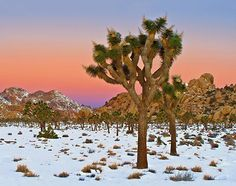 The first time I went to Joshua Tree National Park it was covered in snow.  Three months later the daytime temps were near 110.