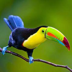 Bellas Aves de El Salvador: Ramphastos sulfuratus (tucán pico iris; tucán grande o de pico multicolor) Residente