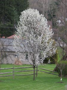 ORNAMENTAL PEAR TREE In our backyard, we have a Redspire Flowering Pear Tree which is also called an ornamental pear tree that is several years old now.  Out of all the trees we have, this one blooms first in the spring and is the last to lose its leaves in the fall.  In the spring there are beautiful white blossoms. . .