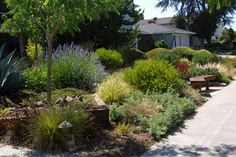Lawn Replacement, Drought Tolerant Landscape & Garden Design in San Jose… Drought Resistant Landscaping, Drought Resistant Plants, Drought Tolerant Landscape, Water Wise Landscaping, Small Front Yard Landscaping, Landscaping Tips, California Native Garden, Dry Garden, Garden Plants