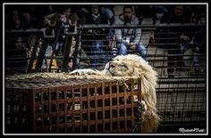 un lion sans cage (lion blanc signe du triomphe)  #lion #lions #lionking #photooftheday #Gladiator #signedutriomphe #PuyduFou #whitelion #Vendée #Tourisme #parc #instagood  #felin #thierryleportier #dresseur #Equinoxe79