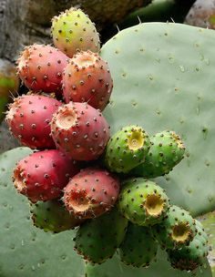 Prickley Pears (Noplaes, Opuntia) native to Sonoran desert region