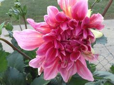 From my garden. Deep pink Dahlia