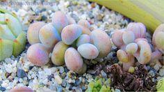 Pachyphytum oviferum plantlets