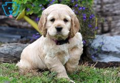 This gorgeous Cocker Spaniel puppy will definitely brighten up your days! He is playful, super friendly and has an outgoing personality. This puppy is Spaniel Puppies For Sale, Cocker Spaniel Puppies, Cockapoo Puppies, King Charles, Cute Dogs, Dog Lovers, Cute Animals, Doggies, Cocker Spaniel Pups