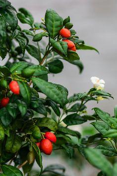 Murraya paniculata by hoeadrian, via Flickr