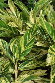 Variegated Shell Ginger (Alpinia zerumbet 'Variegata') at Buchanan's Native Plants Indoor Flowering Plants, Ornamental Plants, Garden Plants, Pool Plants, Tropical House Plants, Tropical Garden, Ginger Plant Flower, Florida Plants Landscaping, Herbaceous Perennials