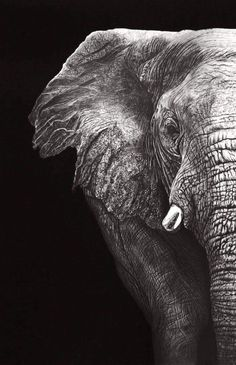 Elephant (Pencil) by Paul-Shanghai Elephant Love, Elephant Art, African Elephant, Elephant Photography, Wildlife Photography, Animal Photography, Elephants Photos, Elephant Pictures, Beautiful Creatures