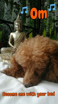 Om ... Become one with your bed    (tags: apricot fawn cute miniature poodle dog Leo Leonardo buddha sleep night meditations)