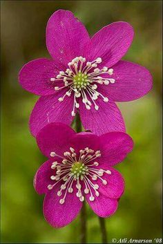"Hepatica.   [""Bloemen."" (Translation:  Flowers).]"