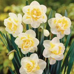 daffodils+flowers | Daffodil 'White Lion' - Daffodil Bulbs - Van Meuwen