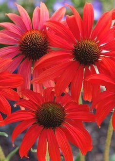 Image of Echinacea 'Tomato Soup' PP 19,427
