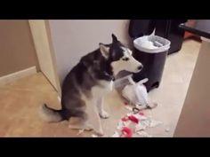 #Husky ontkent alles