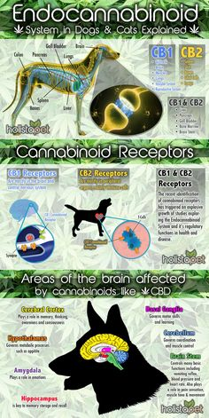 Learn how CBD and other cannabinoids effect the Endocannabinoid System in dogs and other animals. The ECS is responsible for balancing your pet's equilibrium and giving your pet CBD this helps to Endocannabinoid System, Oils For Dogs, Cbd Hemp Oil, Dog Treats, Mammals, Fur Babies, Your Pet, Dog Cat, Complex System