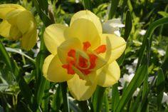 Narsissit | Vesan viherpiperryskuvat – puutarha kukkii