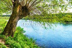 Zdjęcia na płótnie, fototapety na wymiar, obrazy na ścianę : Big old tree on the river bank