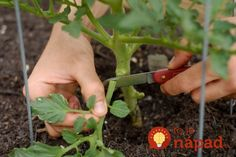 Growing Tomatoes Tips The Best Way To Prune Tomato Plants For A Big Harvest Pruning Tomato Plants, Tomato Growers, Tomato Seedlings, Potato Vine Plant, Potato Vines, Tips For Growing Tomatoes, Growing Vegetables, Grow Tomatoes, Baby Tomatoes