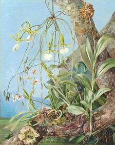 Jamaica Orchids growing on a branch of the Calabash tree. by Marianne North Framed Art Print Magnolia Box Size: Extra Large Artwork Prints, Framed Art Prints, Painting Prints, Canvas Prints, Kew Gardens, Botanical Illustration, Botanical Prints, Marianne North, Flower Doodles