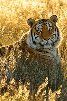 waasabi:  Under Threat Earlier this year I was on assignment for National Geographic Traveler in India to shoot for an article on tiger safa...