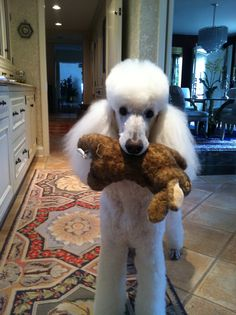 """""""My big catch for the day! #dogs #pets #Poodles Facebook.com/sodoggonefunny"""