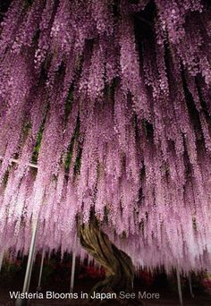 Wisteria Blooms in Japan, beautiful.