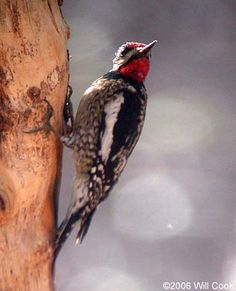 Yellow-bellied Sapsucker, Chatham Co., NC.