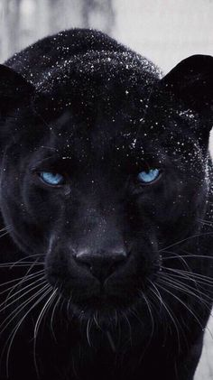 41 Ideas cats wallpaper night Source by videos wallpaper cat cat memes cat videos cat memes cat quotes cats cats pictures cats videos Dog Wallpaper Iphone, Animal Wallpaper, Wallpaper Art, Beautiful Cats, Animals Beautiful, Black Panther Cat, Animals And Pets, Cute Animals, Wild Animals