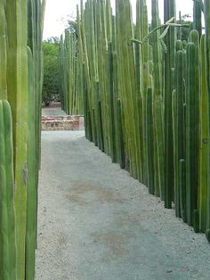 different walkway lining, drought tolerant anyway Pachycereus marginatus, Marginatocereus marginatus. Pipe Organ, Fence Post Cactus Native to Mexico, Oaxaca Botanical Garden Cerca Natural, Crassula Succulent, Mexican Garden, Mexican Courtyard, Desert Plants, Xeriscaping, Covent Garden, Cacti And Succulents, Dream Garden