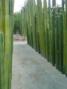 Pachycereus marginatus, Marginatocereus marginatus.  Pipe Organ, Fence Post Cactus  Native to Mexico, Oaxaca Botanical Garden