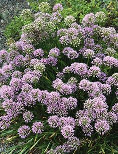 'Millennium' ornamental onion (Allium nutans 'Millennium'), Plant Delights, blooms for around a month mid- to late summer.
