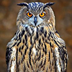 owl by Fred Matos #xemtvhay