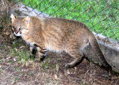 Pantanal cat (Leopardus braccatus)