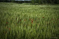 cornfield and poppies Giurdignano