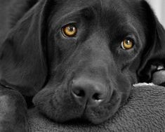 I'll Be Your Best Friend Forev... is listed (or ranked) 4 on the list The Cutest Black Lab Pictures