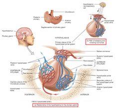 hypothalamus pituitary gland hypophyseal portal system