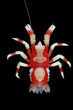 Squat Lobster Vanatu Oceania
