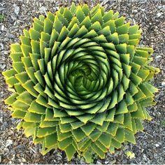 #Suculentas - Aloe Polyphilla.
