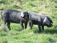 Large Black Hogs are one of the few hogs that can forage for most of their diet. They are very docile and the meat is succulent. Large Black Pig, Black Pigs, Agriculture, Pig Breeds, Pig Farming, Farming Ideas, Future Farms, Animal Projects, Hobby Farms