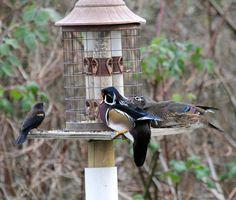 feeder wood ducks! :)