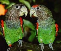 The Cape parrot (Poicephalus robustus) or Levaillant's parrot is a large, temperate forest dwelling Poicephalus parrot endemic to South Africa. It was formerly grouped as a subspecies (along with the savanna-dwelling brown-necked parrot (P. fuscicollis fuscicollis) and grey-headed parrot (P. f. suahelicus)) but is now considered a distinct species.