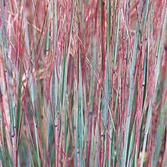 Little bluestem..haven't found this in my area, but love the colors of it