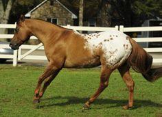 Chocolatey, Appaloosa Stallion in Michigan | Appaloosa Horses for Sale