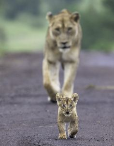 Young lion cub & Mom by Hendri Venter