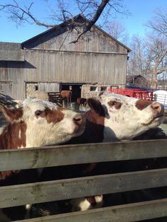 Happy cows at Bronte creek provincial park Oakville Ontario, Happy Cow, Cows, Urban, Activities, Park, Parks