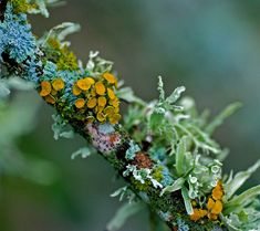 Summer Colours! It is here in full swing, feeling like 30+    rhamphotheca:    Lichens on a dead twig in my yard in Austin. We have had a lot of rain and the lichen fruiting bodies have sprouted.  (photo/text: Jim McCulloch | Flickr)