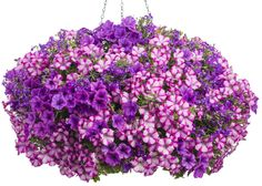 Container 'Popsicle' featuring: Petunia 'Supertunia Rose Blast Charm' and Lobelia 'Lucia Ultraviolet'
