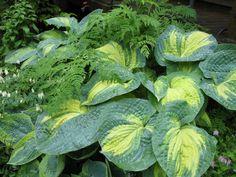Wer Schatten im Garten hat, bietet einer der attraktivsten Schattenstauden einen idealen Standort: der Funkie. Sie ist nicht nur pflegeleicht, sondern auch…