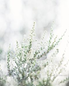 Soft White Branches - Light and Airy Nature Wall Art